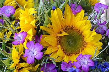 yellow_purple-sunflower.jpg